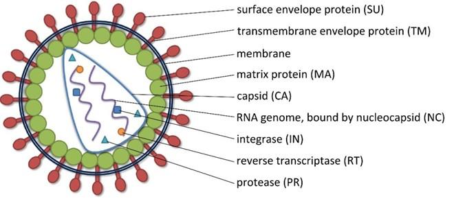 慢病毒结构示意图